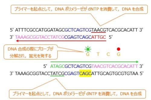 リアルタイムPCR伸長反応