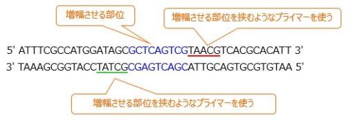 PCRプライマー
